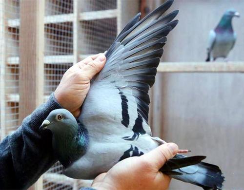 【破纪录】鸽子被拍出1030万 是什么鸽子这么值钱